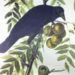 Audubon - Crow with Nest